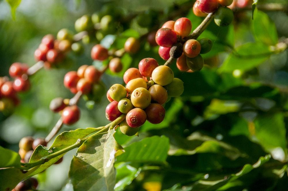 rote und nachhaltige Kaffeekirschen an Kaffeepflanze
