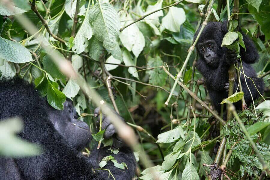 Gorillas im Kongo, Afrika