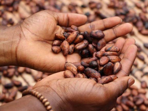 Sommer Kakaobohnen
