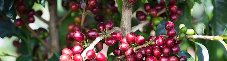 Arabica Kaffee Kaffeekirschen