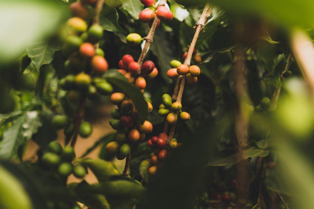 Caffè di Monte Kaffeekirschen
