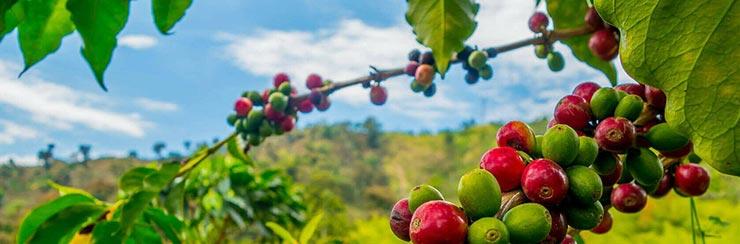 Bio-Kaffee entkoffeiniert