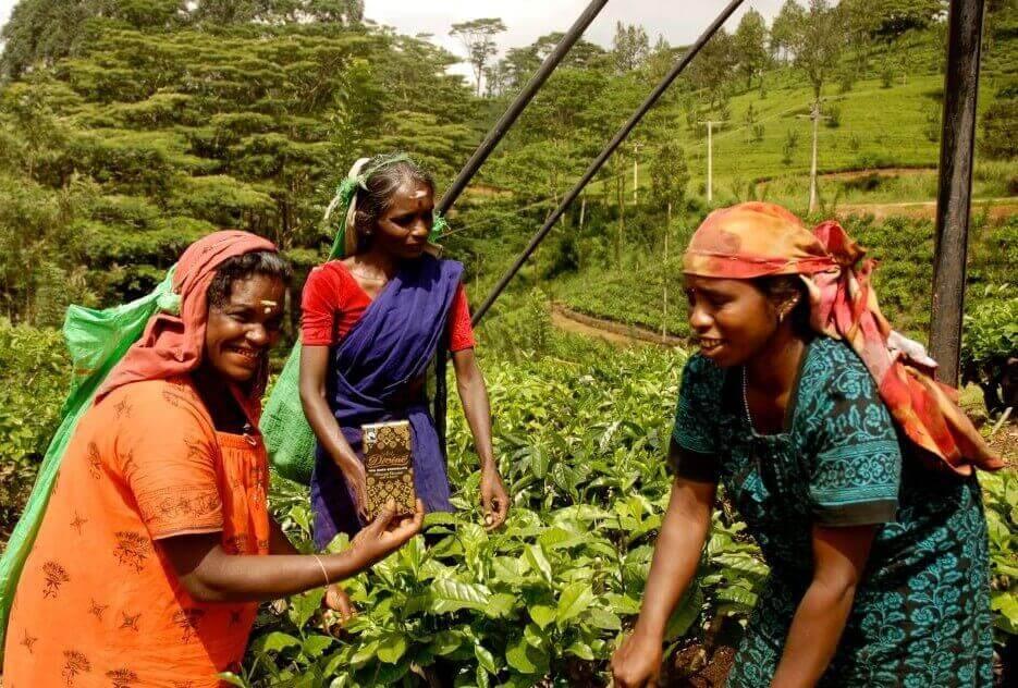 Anbau von Fairtrade-Tee unter gerechten Bedingungen