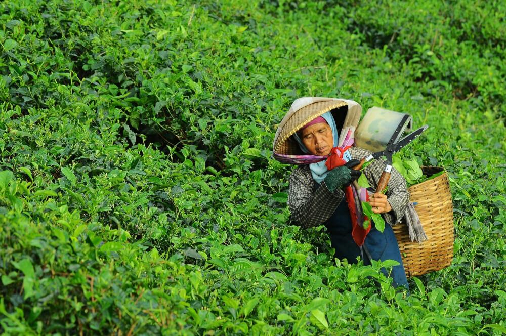 Anbau von Fairtrade-Tee