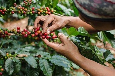 Kaffeebauern beim Ernten
