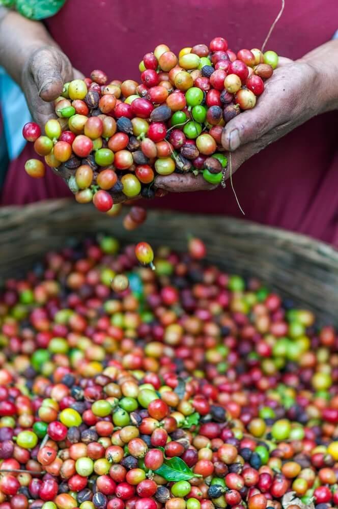 frische Kaffeekirschen nach Demeter Standard