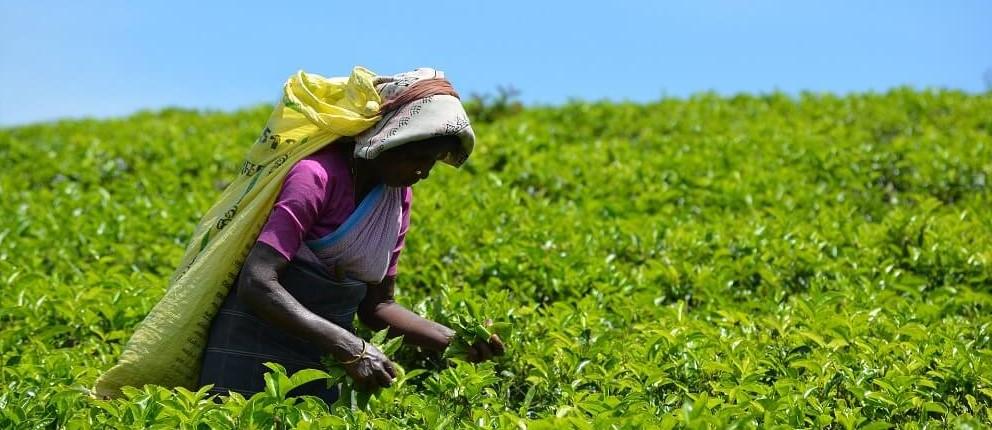 Teeplantage Anbau Fairtrade