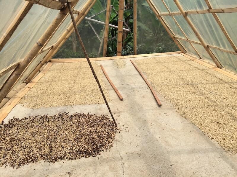 Monsooned Malabar Rohbohnen werden beim Monsooning getrocknet (2)