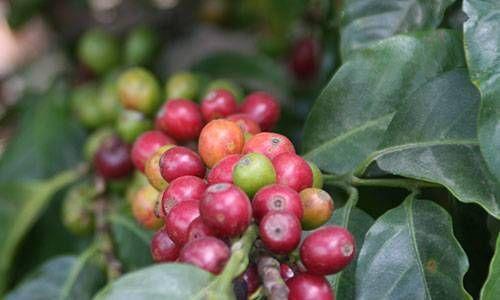 murnauer kaffee kaffekirschen der sorte san_miguel