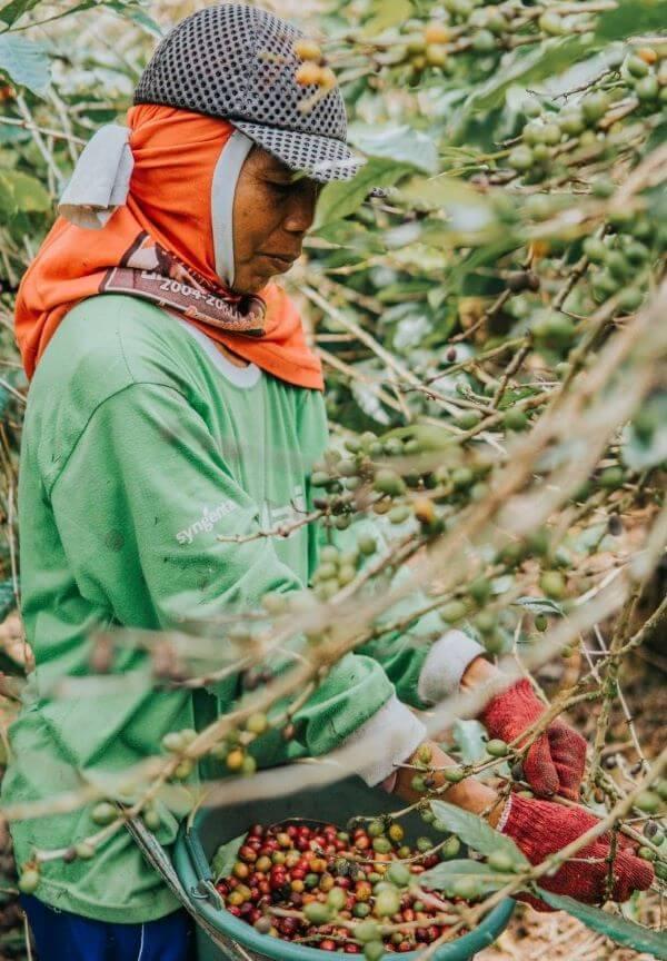 Anbau von Fairtrade-Kaffee