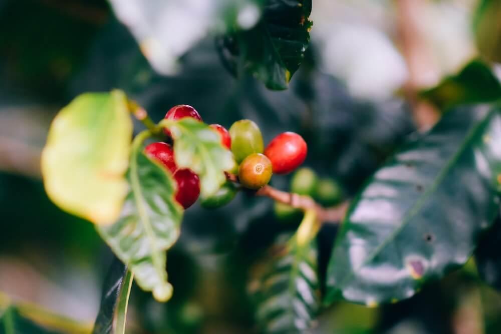 Kaffeepflanze im Anbau