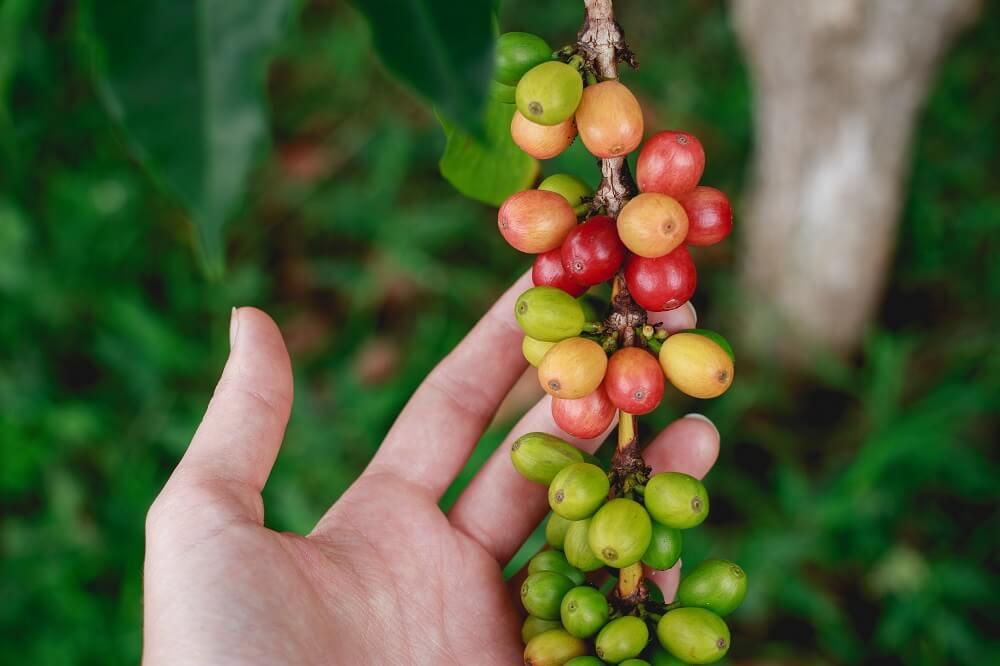 Handverlesene Ernte Public Coffee Roasters