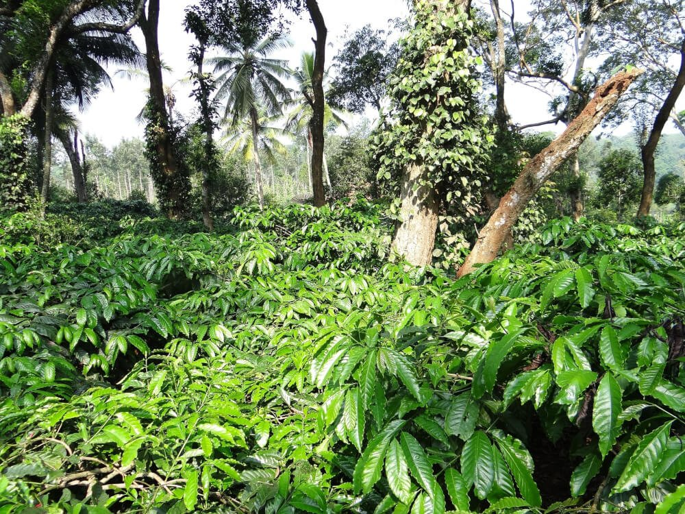 Kaffee Robusta Pflanze