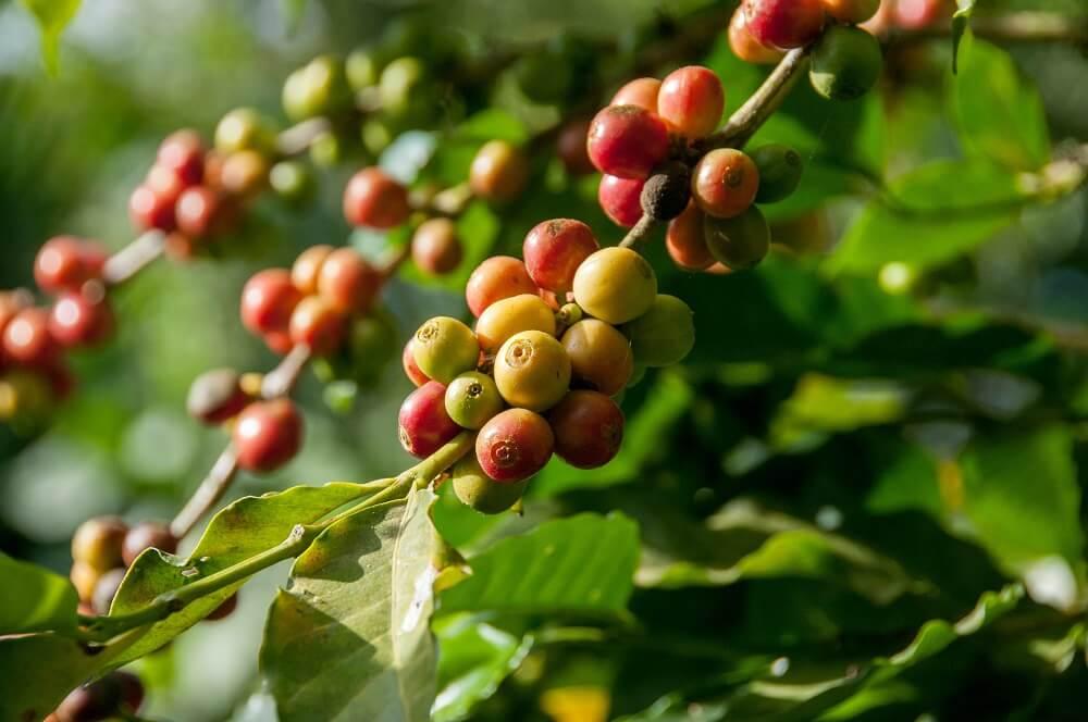 reife Microlot Kaffeekirschen