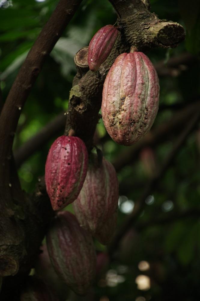 Kakaobohnen am reifen