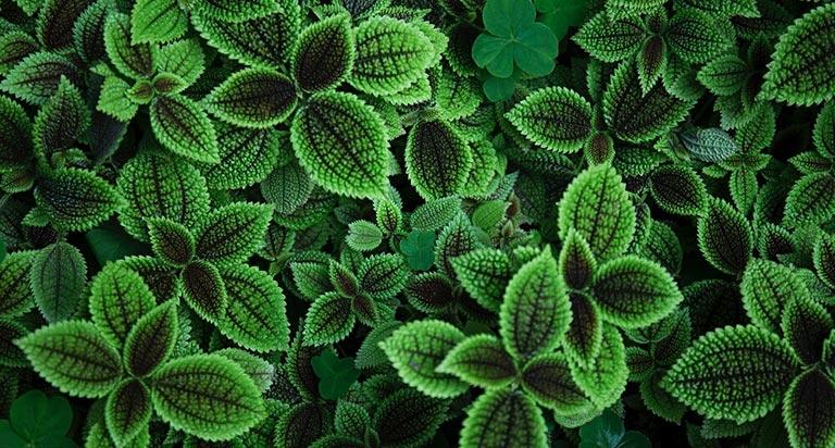 Minze Pflanze für Tee