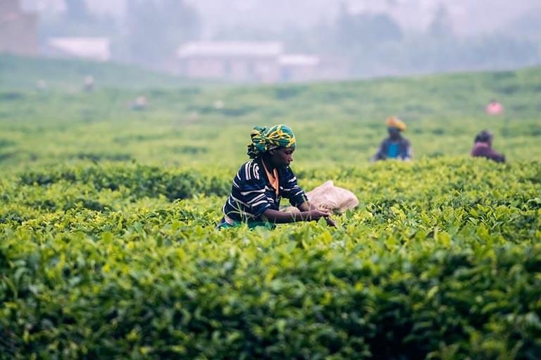 Plantage für Rooibos Tee