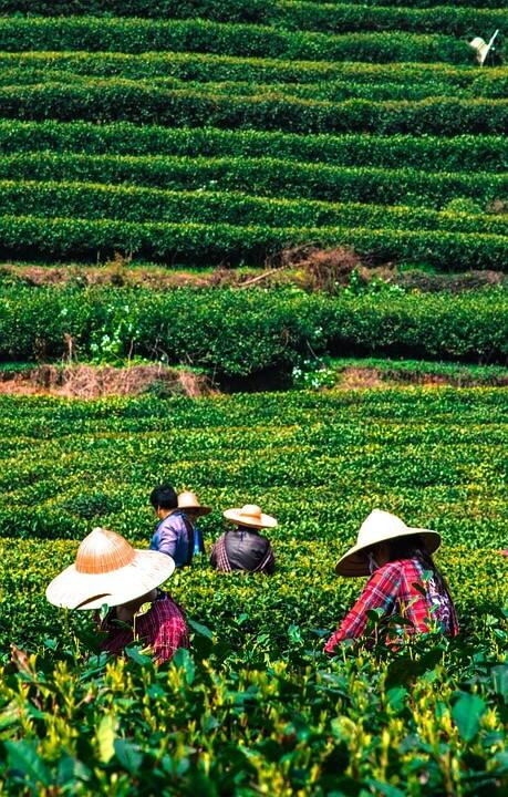 Teeplantage Anbau