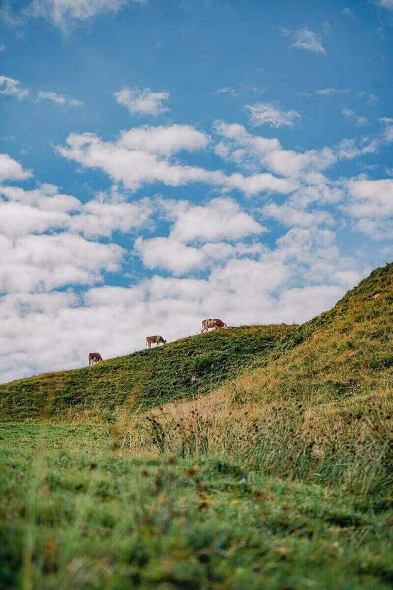 Wiese mit Kühen in Bayern