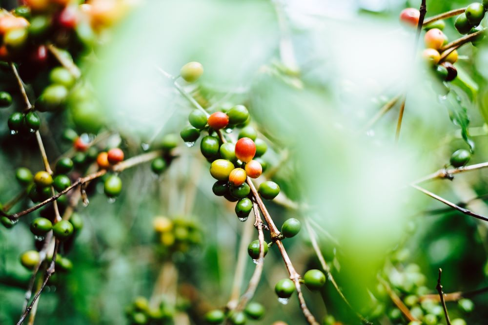 Bio-Kaffee Kaffeekirschen