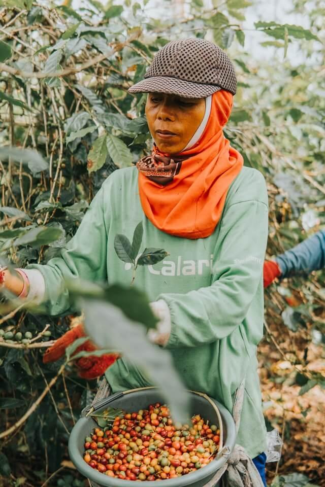 Ernte von Fairtrade-Kaffee