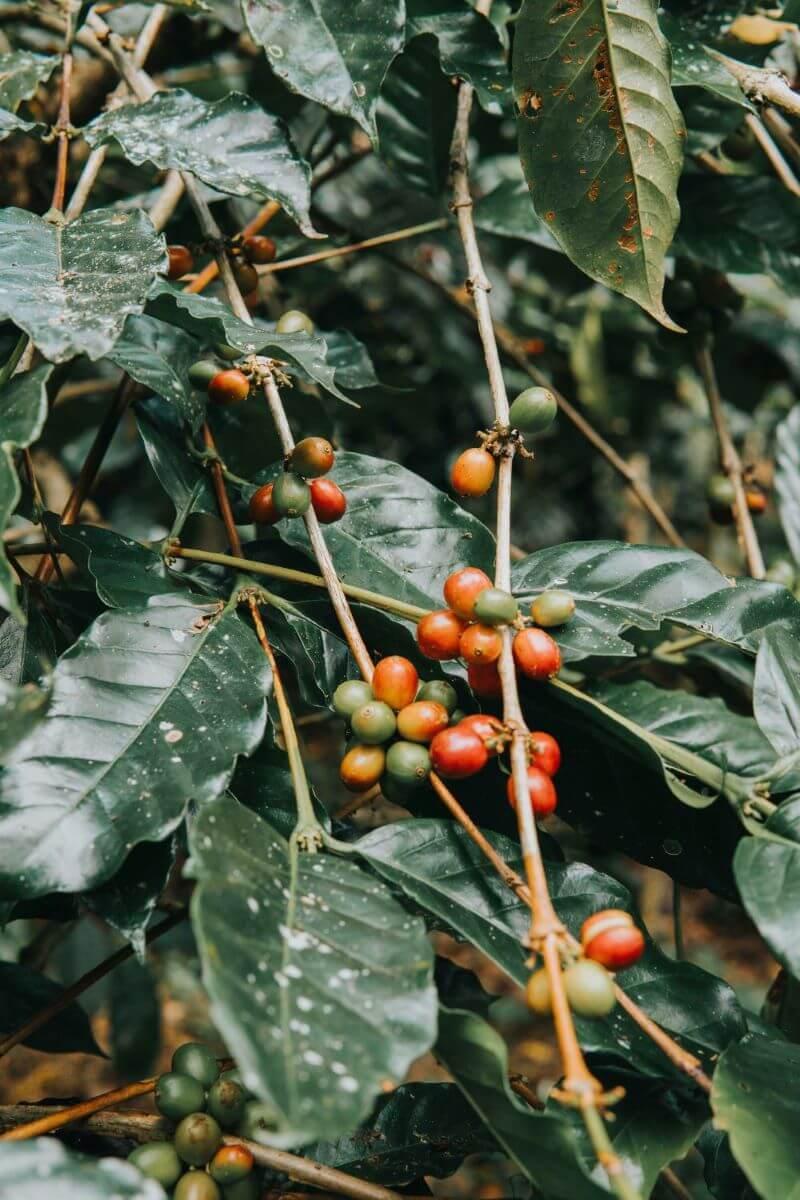 Kaffeekirschen von Bio-Kaffee