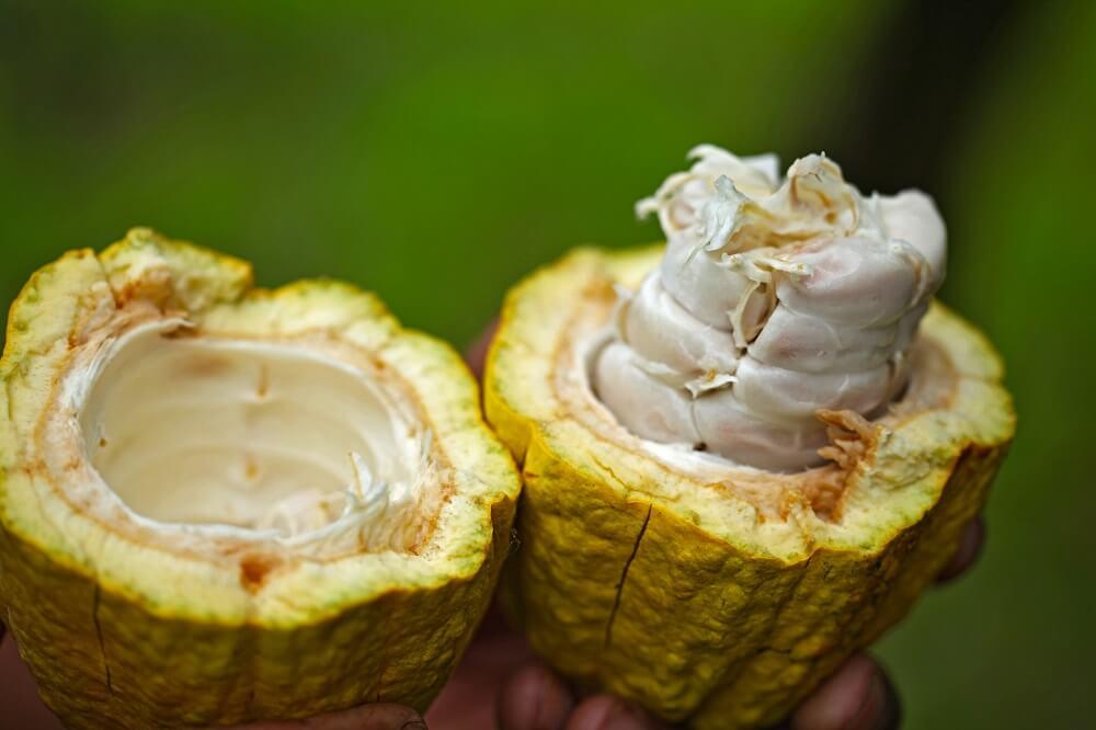 Frucht des Kakaobaums