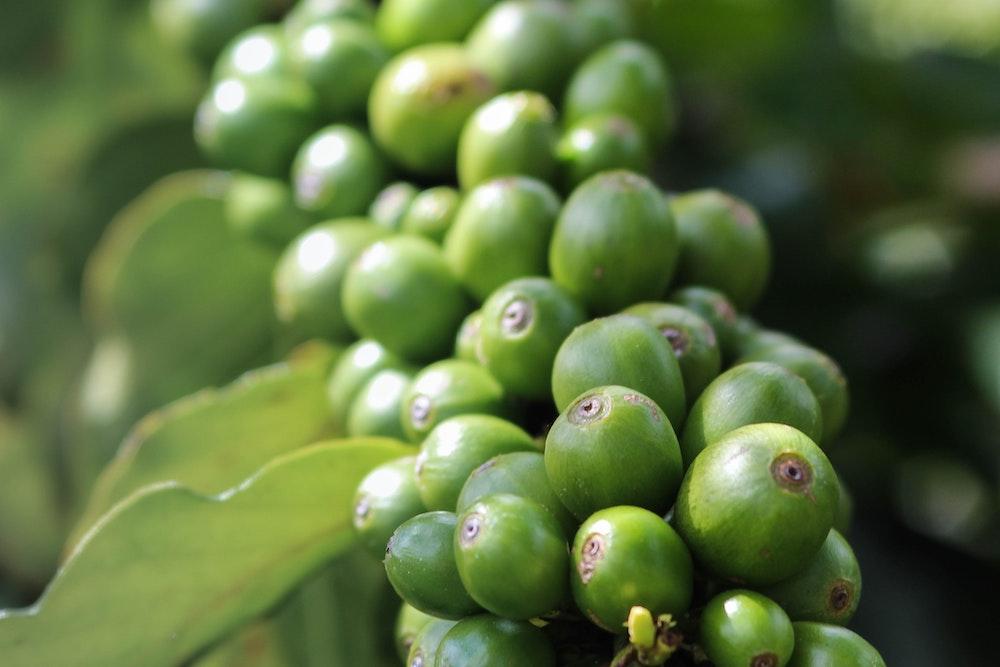 Grüne und nachhaltige Bio Kaffeekirschen an Kaffeepflanze
