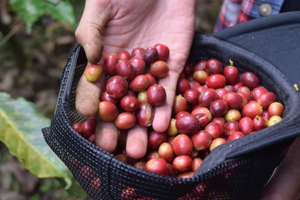 Ernte von Bio-Kaffee