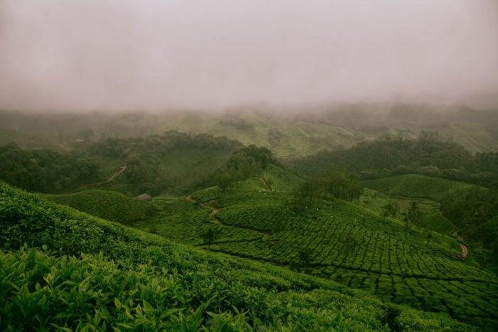 Grüner Tee Anbau